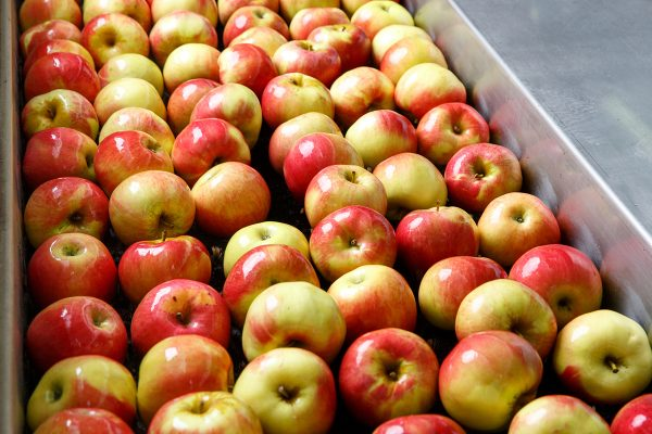 Ripe apples being processed and transported for size and color sorting and for packing in an industrial production facility. Healthy fruits, diet and food industry concept and textured background.